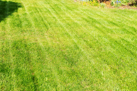 Freshly mowed lawn in the garden. Lawn background