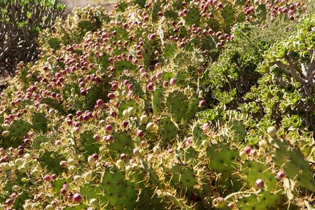 Many cacti. Lanzarote. Canary Islands. spain Stock Photo
