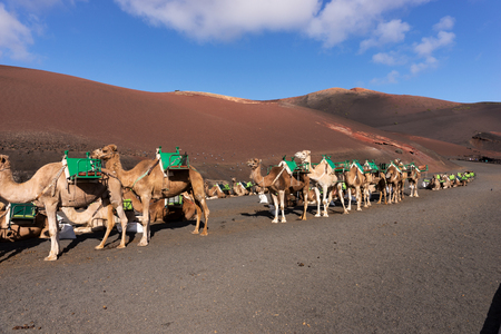 Camels wait for tourists at Timanfaya National Park in Lanzarote. Canary Islands. spain Stock Photo