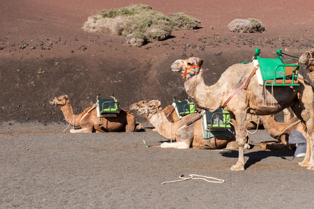 Camels wait for tourists at Timanfaya National Park in Lanzarote. Canary Islands. spain 免版税图像