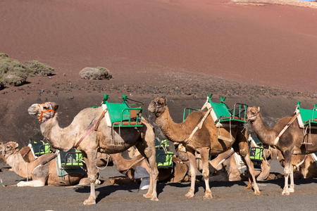 Camels wait for tourists at Timanfaya National Park in Lanzarote. Canary Islands. spain Foto de archivo