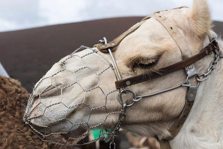 Portrait of a camel. Lanzarote. Canary Islands. spain