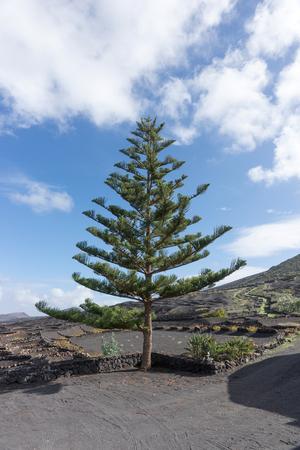 Norfolk Pine. Latin name Araucaria heterophylla. Lanzarote. Canary Islands. spain
