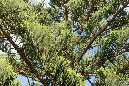 Branches of the Norfolk Pine. Latin name Araucaria heterophylla. Lanzarote. Canary Islands