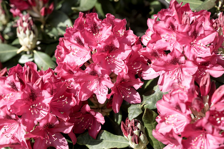 Closeup of the blooming red rhododendron in spring Stock Photo