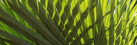 Natural panoramic background of palm leaves. Closeup of palm leaves Reklamní fotografie