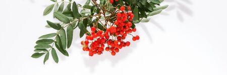 Panoramic natural background. Rowan (Sorbus aucuparia) berries and leaves Standard-Bild - 129479456