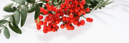 Panoramic natural background. Rowan (Sorbus aucuparia) berries and leaves Standard-Bild - 129479452
