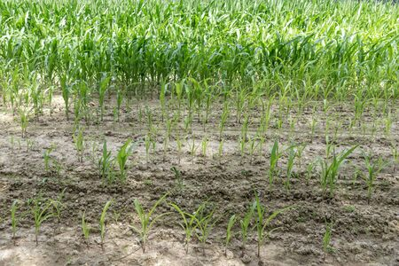 Rows of green corn (maize) growing on the dry ground 版權商用圖片 - 137728222
