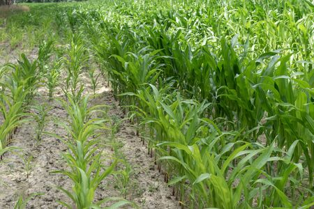 Rows of green corn (maize) growing on the dry ground