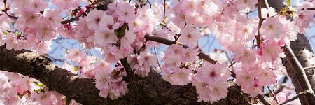Panoramic image. Branches of a blooming almond tree in early spring