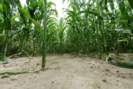 Rows of green maize growing in the field 版權商用圖片