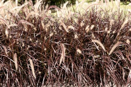 Close-up of many dry grasses. Natural background Stock Photo