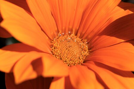 Detail of a beautiful orange gazania flower in the garden