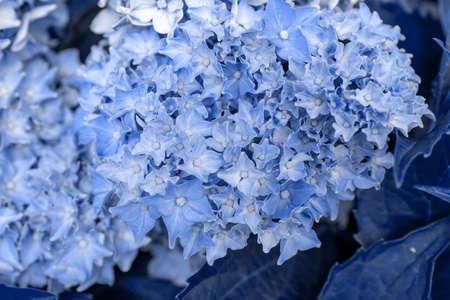 Closeup blue hydrangea flower (Hydrangea macrophylla) blooming in the garden