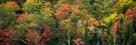 Autumn forest. Deciduous forest in autumn and on maple trees, the color of the foliage changes to yellow and orange