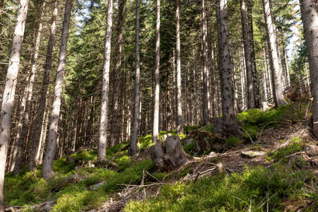 Beautiful coniferous forest landscape. Forest with tall, even trunks of pine trees on the mountain