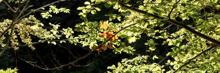 Beginning of autumn. Brown leaves between many green leaves in the sunlight