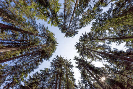 Trees against the blue sky. Looking up. Background texture, tops of coniferous trees. High pine forest
