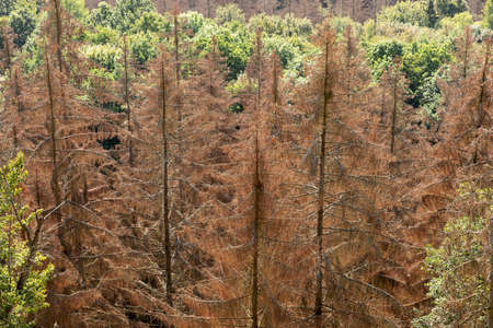 Dead dry forest in Germany. Bark beetle calamity. Environmental disaster