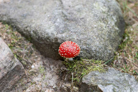 Fly agaric with white spots between the stones