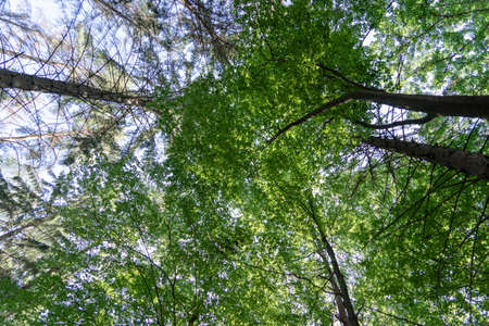 Looking up. Background texture, tops of deciduous trees