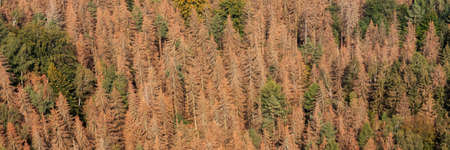 Panorama of the dead dry forest in Germany. Bark beetle calamity. Environmental disaster