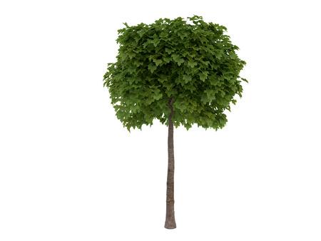 acer platanoides: 3D Visualization tree Acer platanoides, isolated on white background