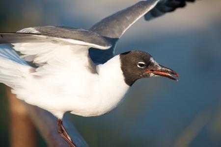 Seagull getting ready to take flight on the boardwalk in Ocean City, NJ