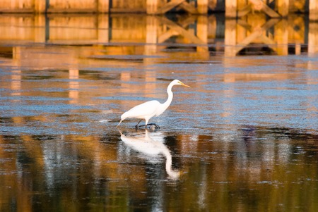 Egret in sound at sunset near Currituck, Outer Banks, North Carolina