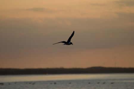 The Little Gull Larus minutus in flight on sunset natural background