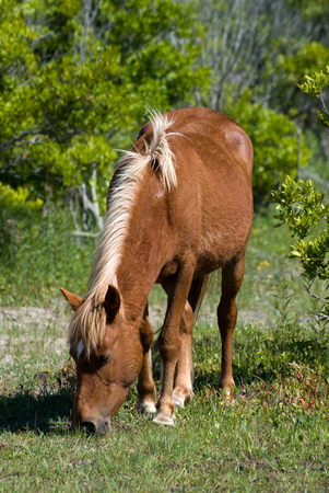 Beautiful wild stallion grazes in the sand dunes of Corollas Currituck National Wildlife Refuge