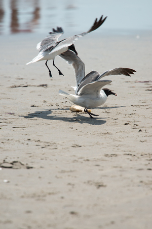 Seagull on the beach flying fighting over food Standard-Bild