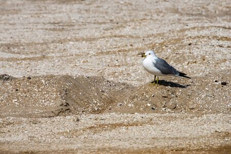 View of a Seagull walking on sandy beach Stok Fotoğraf