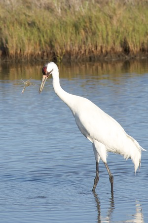 whooping: Whooping Crane with Crab Stock Photo