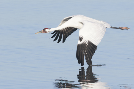 Whooping Crane in Flight With Wing Touching Water and Reflection Banco de Imagens