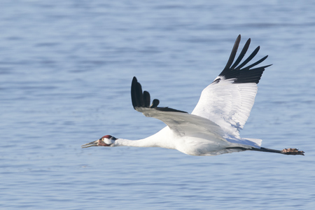 whooping: Whooping Crane Flying Over Water