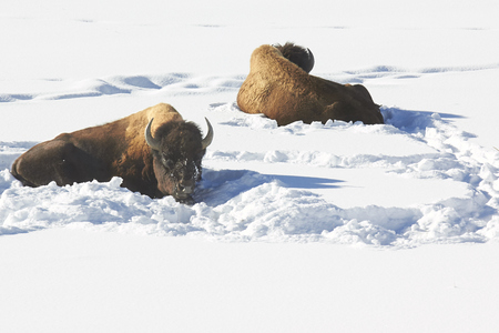 facing away: The Cold Shoulder: Two Bison Sleeping in The Snow Facing Away From Each Other Stock Photo
