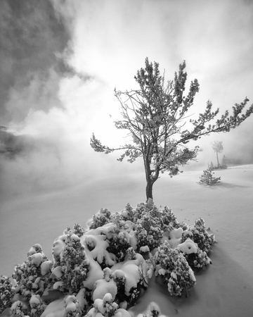 black mammoth: Snow Covered Tree in Steam at Mammoth Hot Springs - Black and White