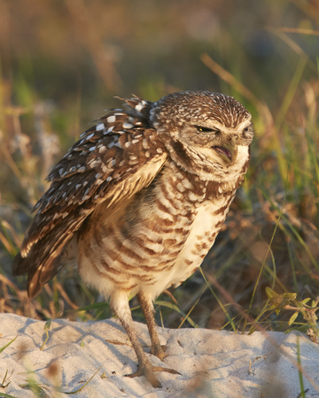 burrowing: Burrowing Owl Yawning