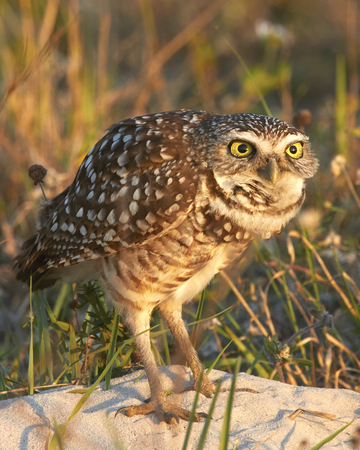burrowing: Burrowing Owl Surprised Stock Photo