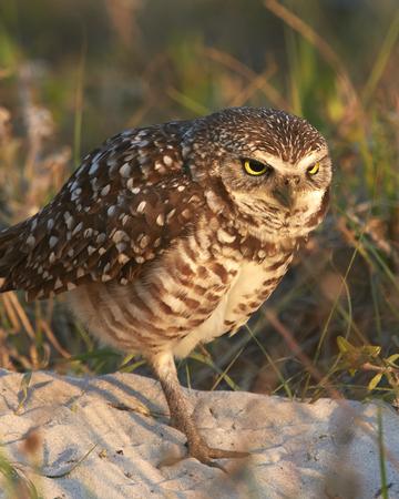 burrowing: Burrowing Owl Angry Stock Photo