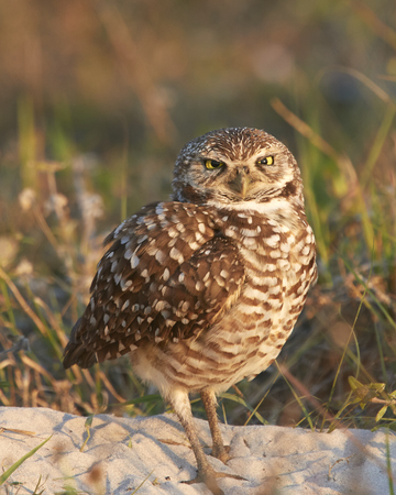 burrowing: Burrowing Owl Cross Eyed Stock Photo