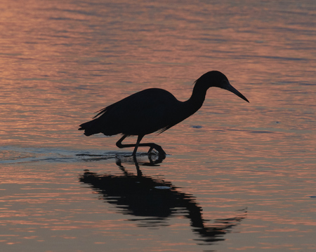 wade: Silhouette of Wading Egret at Sunrise with Reflection