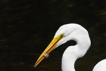 Great White Egret Eating a Fish