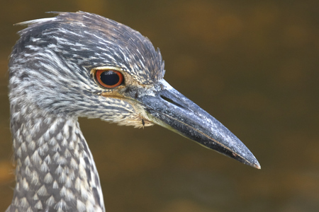 ding: Head of Tricolored Heron