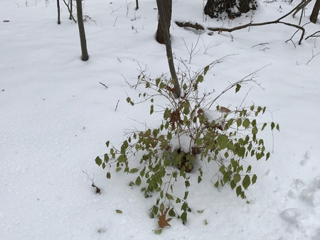 Green plant alive in snowy forest