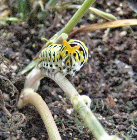 black swallowtail caterpillar showing osmeterium Stock Photo - 4331409