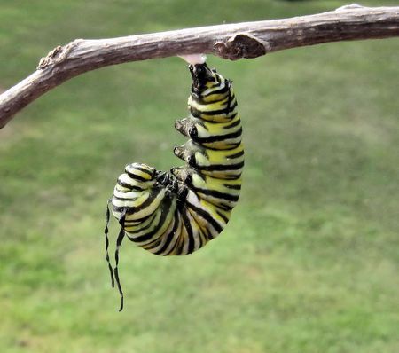 Monarch caterpillar hanging in J ready to pupate Stock Photo