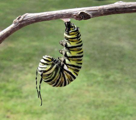 Monarch caterpillar hanging in